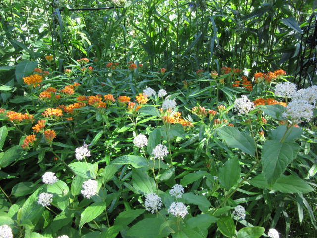 Butterfly Milkweed and New Jersey Tea